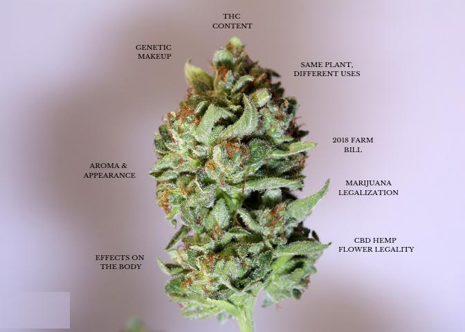 Différence CBD et THC